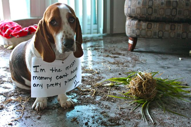 basset-hound-and-plants-funny