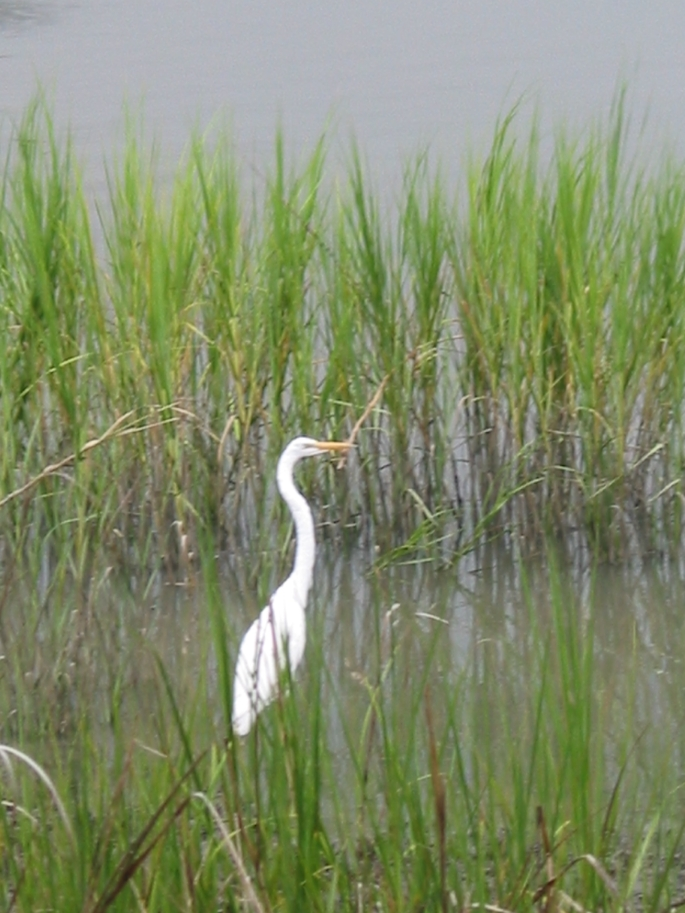 egret in marsh
