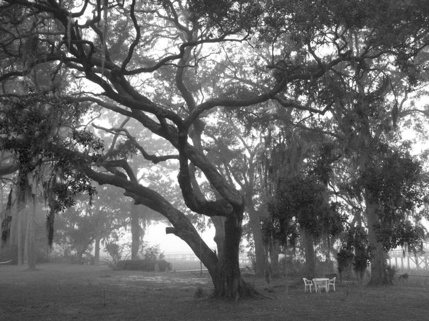 The old oak tree bw