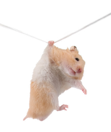 Hamster hangs on a rope isolated on a white background